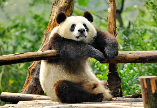 Top 30] Funny And Hilarious Panda Puns - All Pick Up Lines