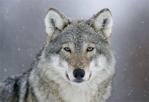 [Top 50] Wolf Werewolf Pick Up Lines 7