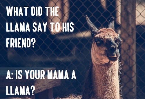 [Top 80+] Llama Alpaca Pick Up Lines,Puns,Jokes To Use On Hilly People! 4
